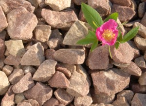 iStock stone and rose